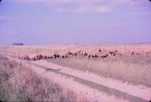 Osmond Kyte's sheep, 1962