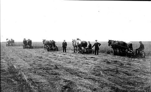 Black and white image of 5 pairs of horses pulling machinery with men sat on machinery to cut hay